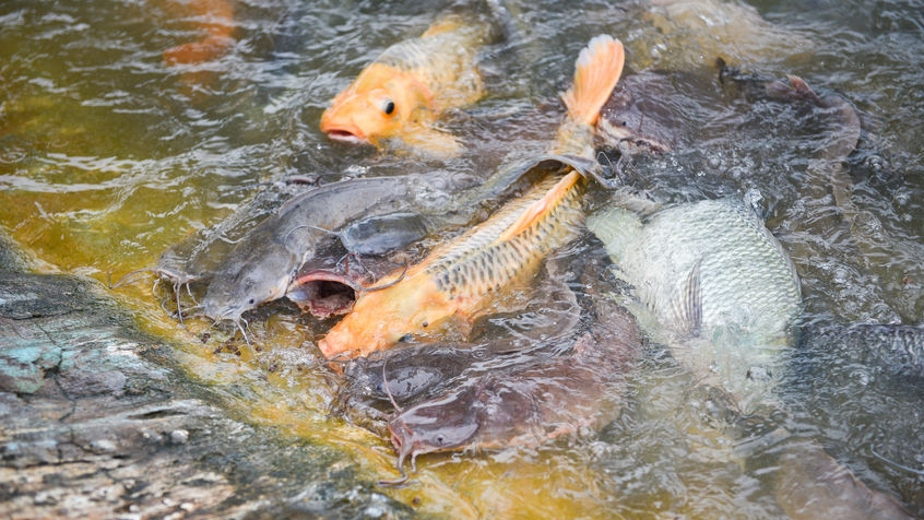 Freshwater fish farm / Golden carp fish tilapia or orange carp and catfish eating from feeding food on water surface ponds